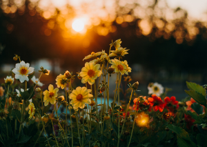 Uso de las flores de bach